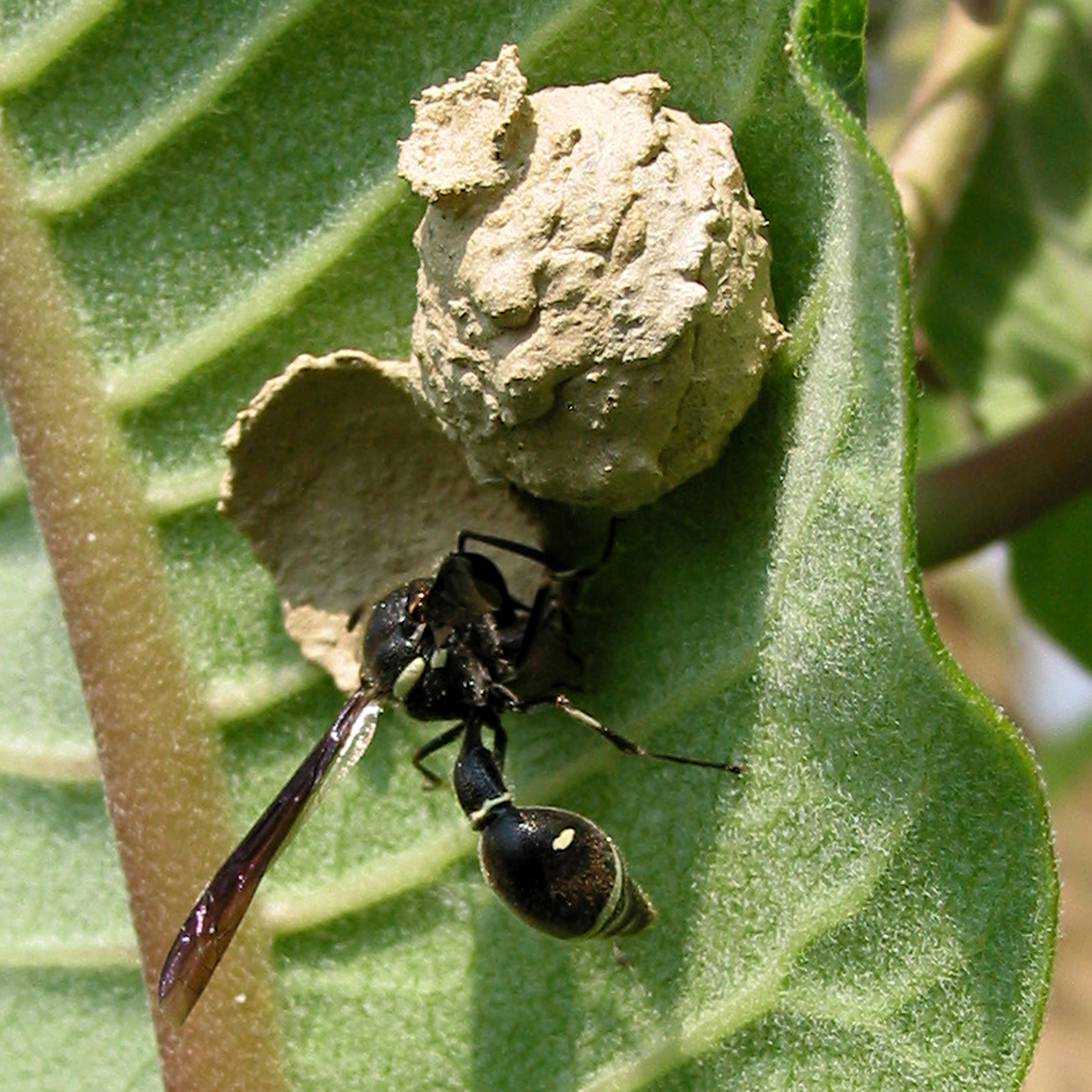 Potter wasp with capped nest by Mary Holland