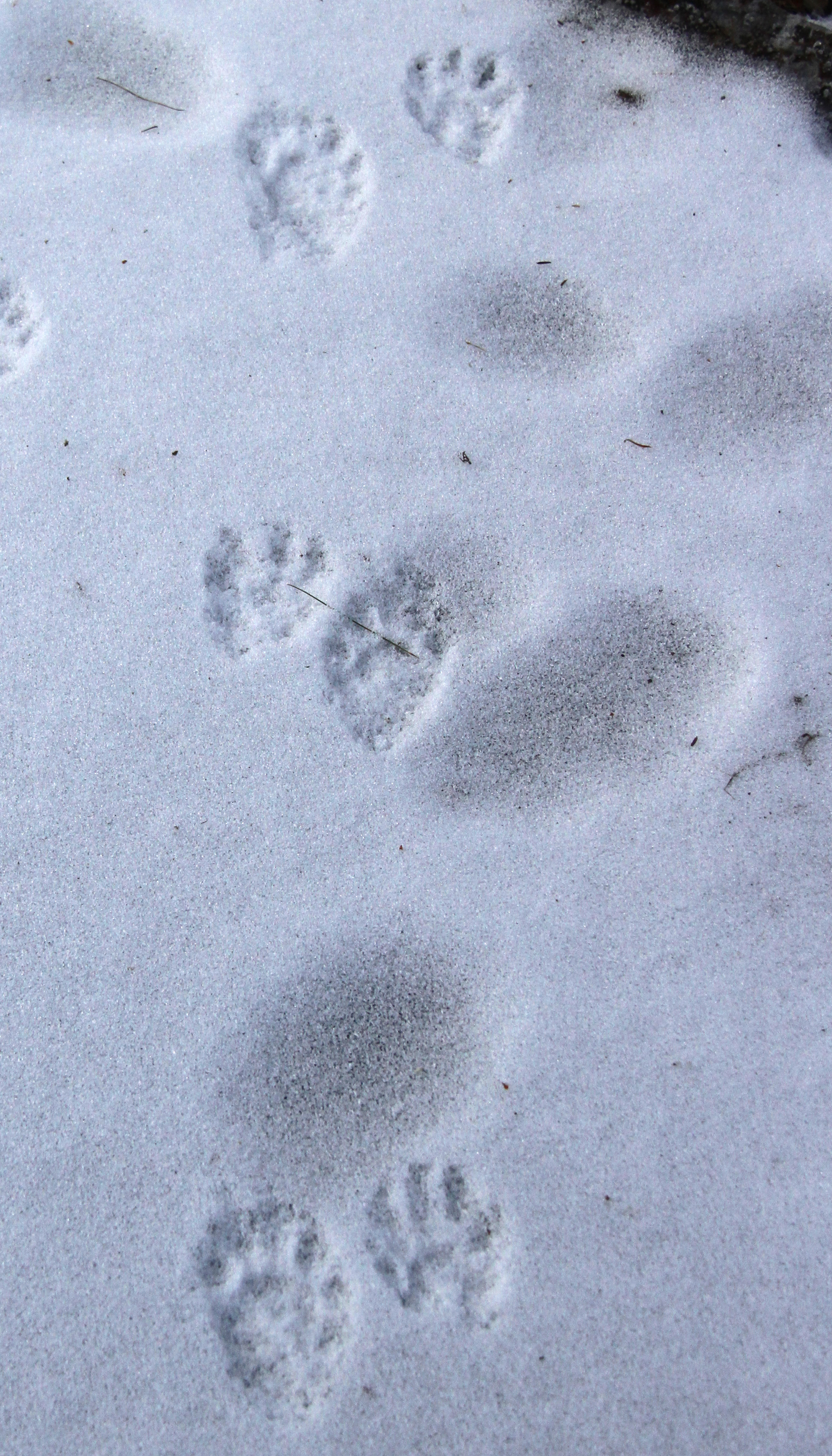 Skunk and Raccoon Footprints http://naturallycuriouswithmaryholland.wordpress.com/2010/02/14/