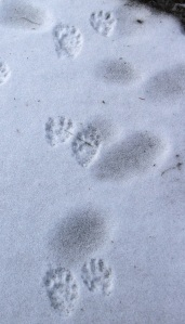 Raccoons are out and about in the winter during fair weather, if the temperature at night is above freezing.  Look for the hand-like prints of their front feet, paired with their longer hind feet. The front and hind tracks alternate sides in each track pair.  The pattern of these tracks indicates that this raccoon was walking, not bounding.