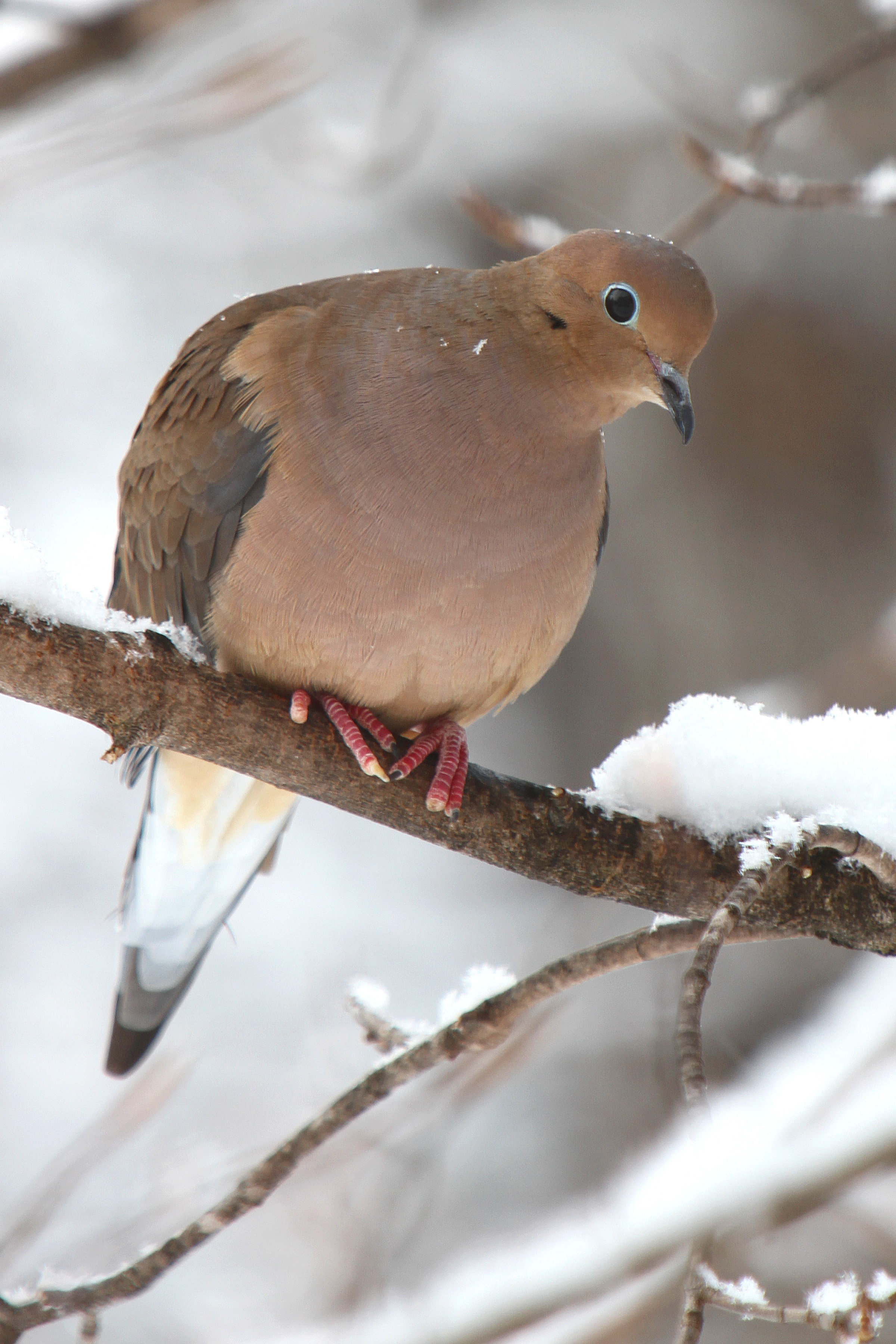 1000+ images about Beautiful Mourning Dove Photography on ...