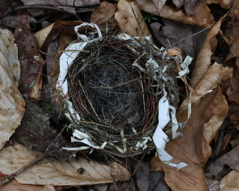 Red eyed vireo nest - photo#30