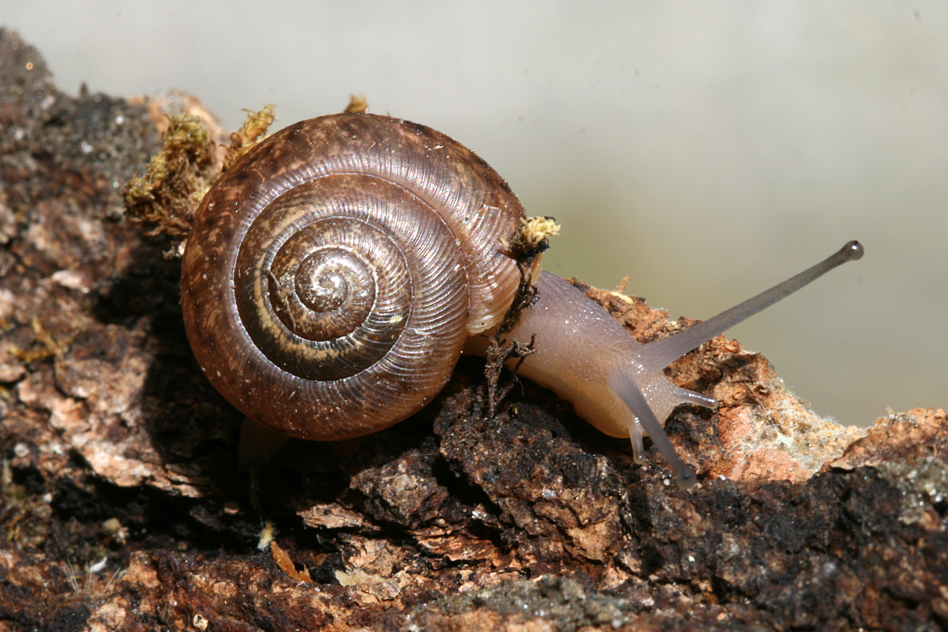 Land Snails - Welcome to a photographic journey through the fields ...