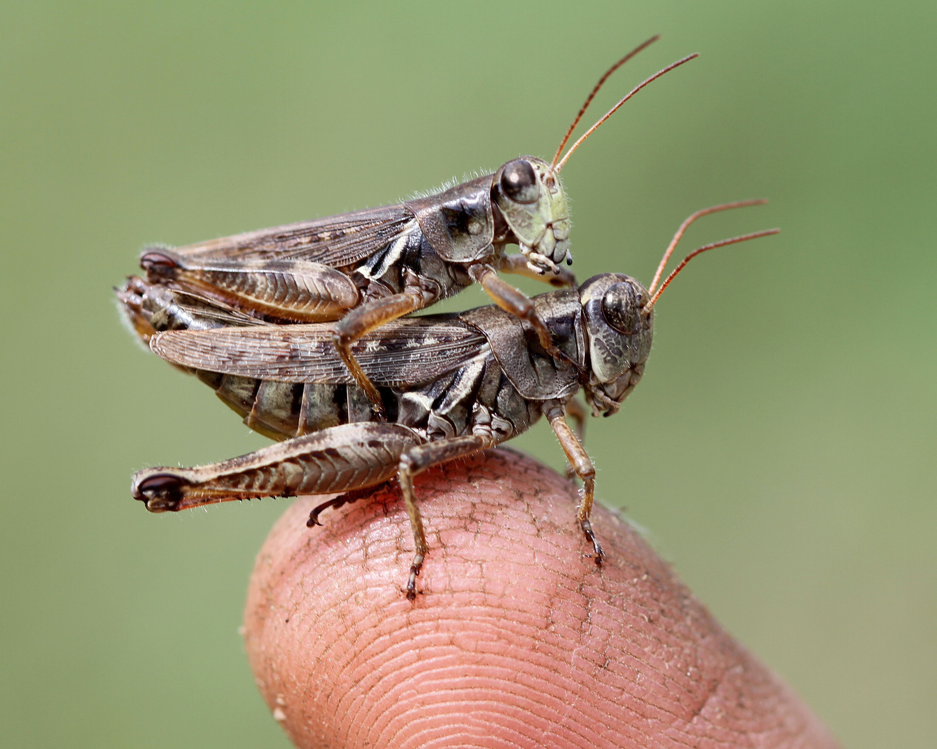 Grasshopper larvae - photo#19