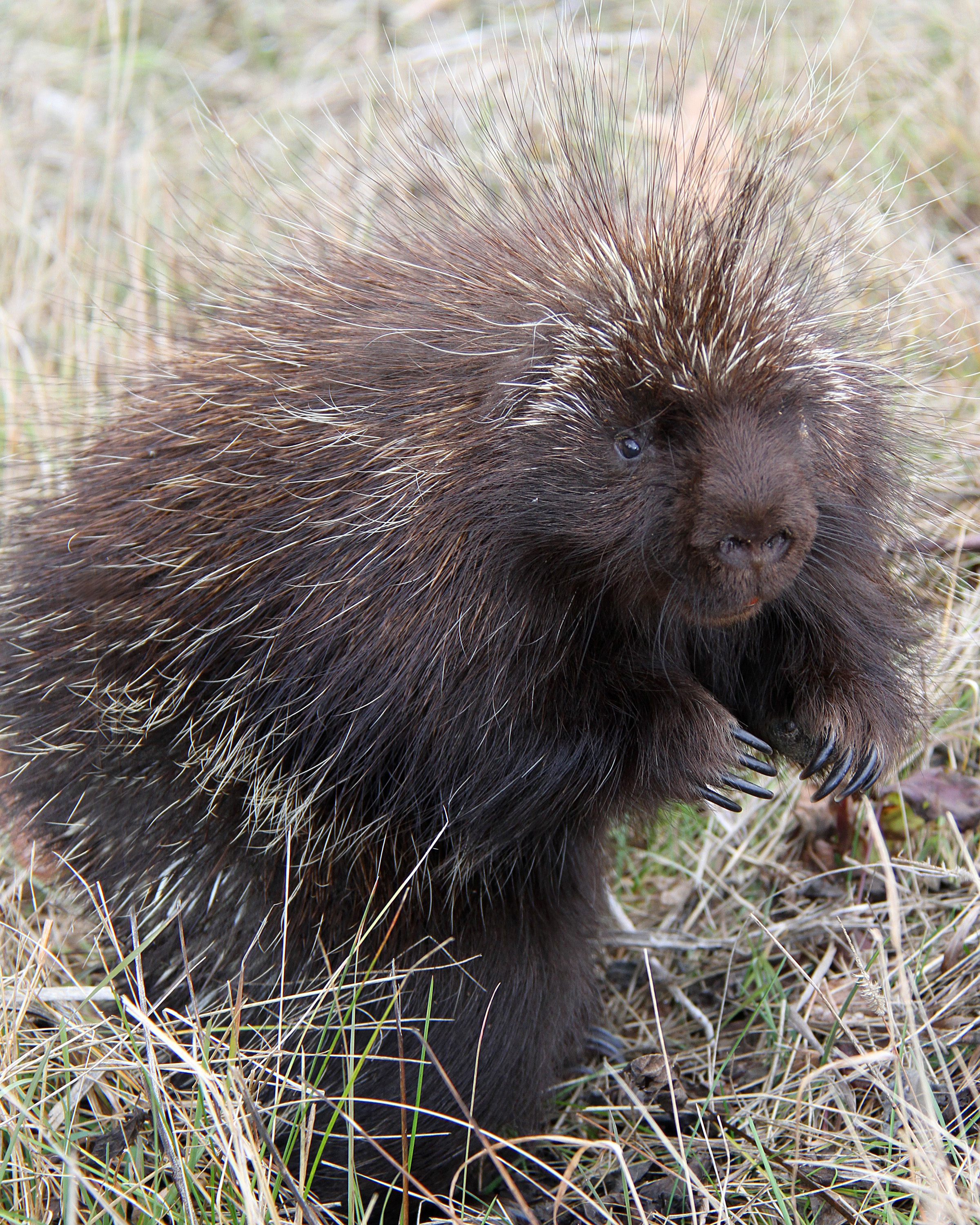 Porcupines – Welcome to a photographic journey through the woods ...