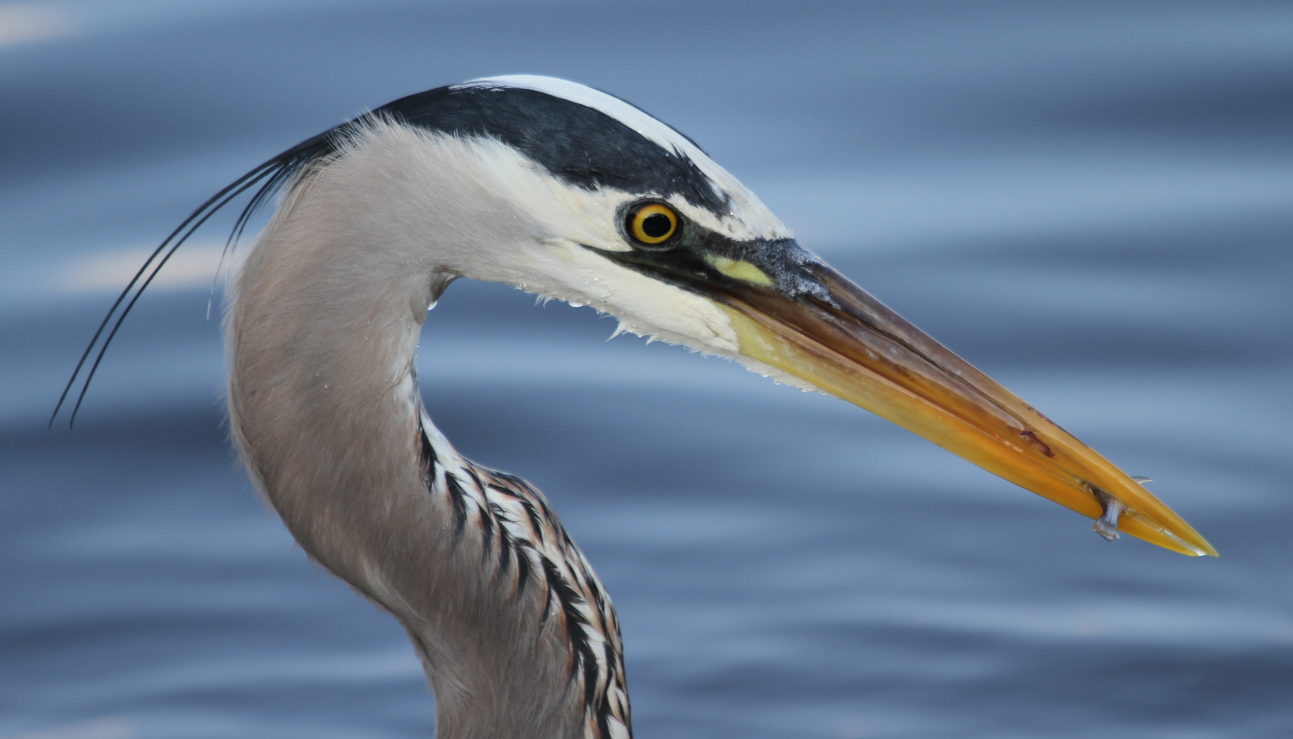 Great blue herons return naturally curious with mary holland for Blue heron fishing