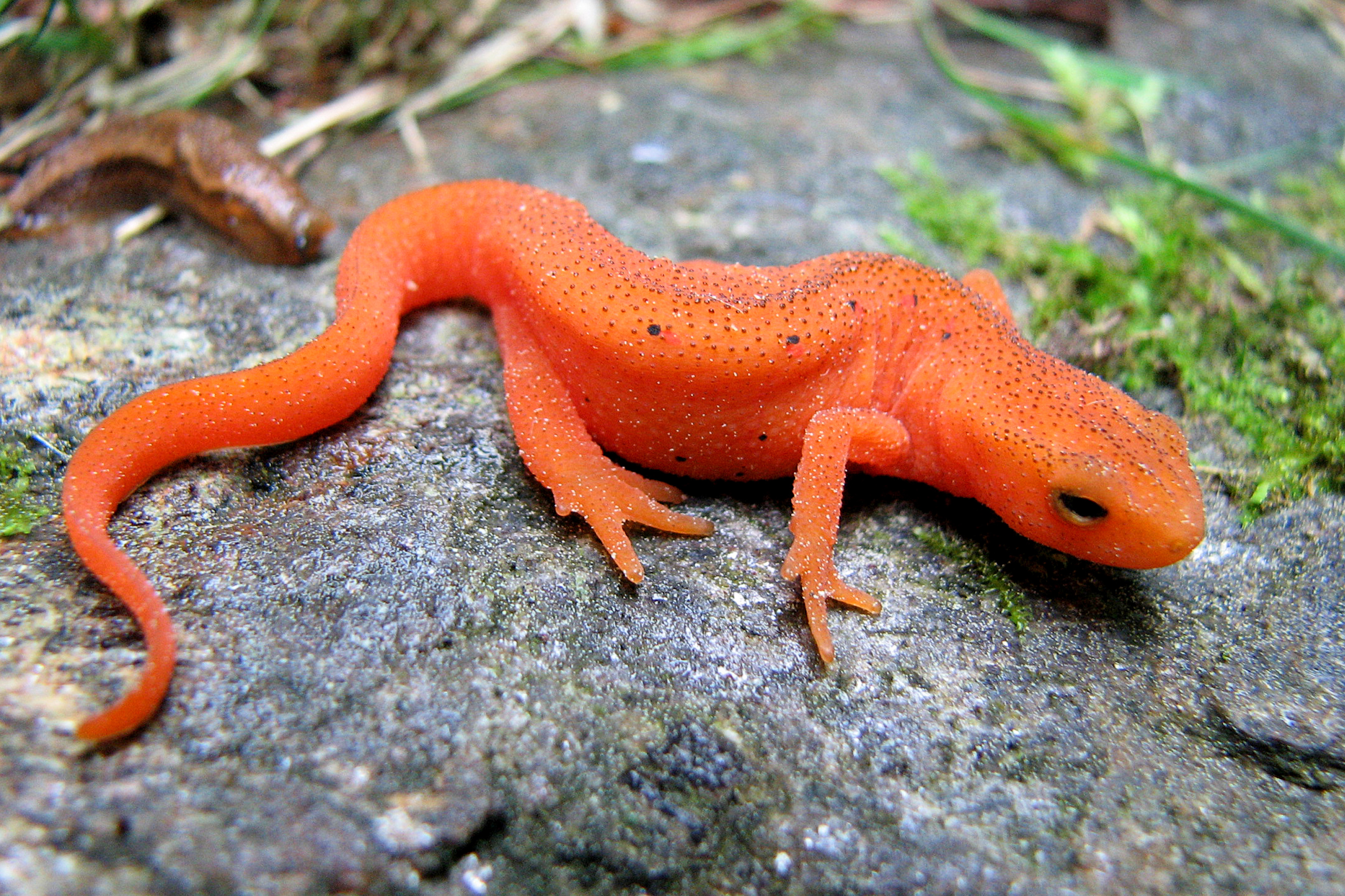 Red Efts | Naturally Curious with Mary Holland