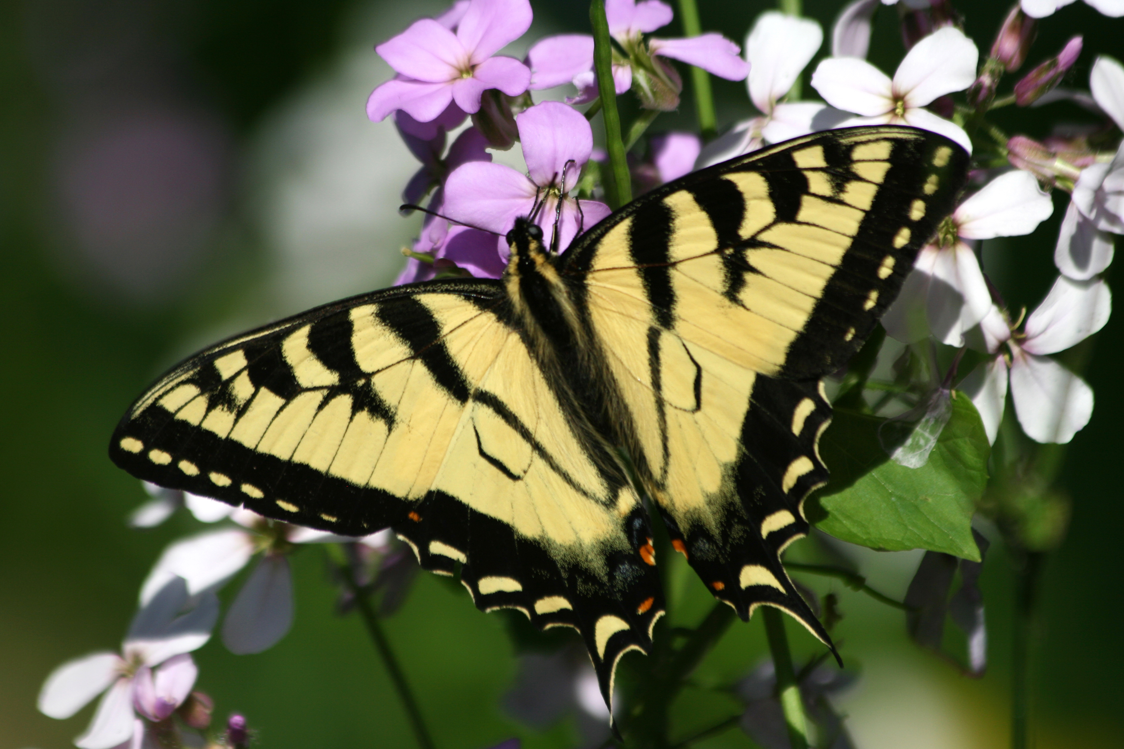 a01f23ff0 Eastern Tiger Swallowtail Butterflies | Naturally Curious with Mary ...