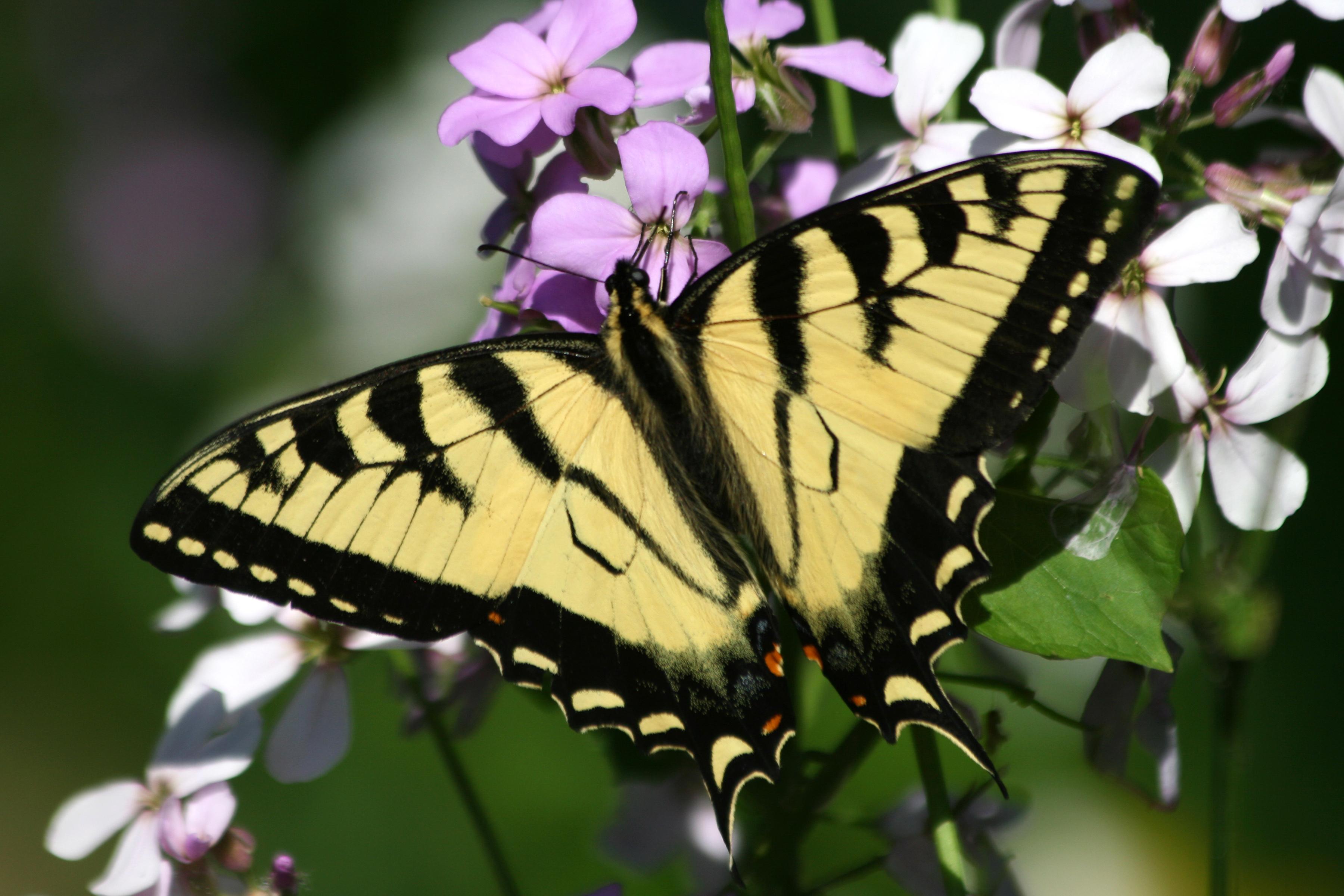 eastern tiger swallowtail butterflies