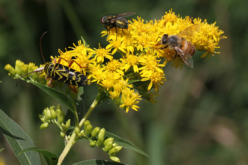 Goldenrod Visitors | Naturally Curious with Mary Holland Solidago Canadensis Leaf