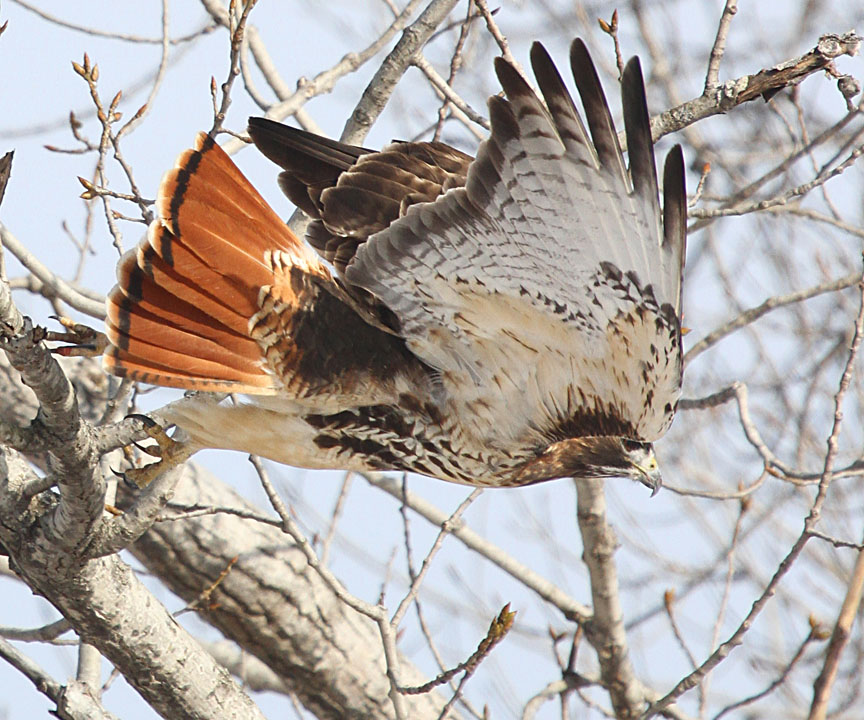 Red tailed hawk juvenile tail