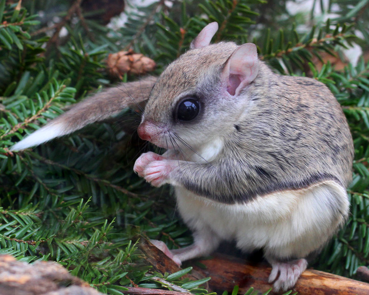 Winter Survival Strategy of Flying Squirrels | Naturally ...