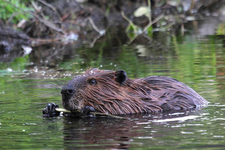 Beaver - JungleKey.fr ...