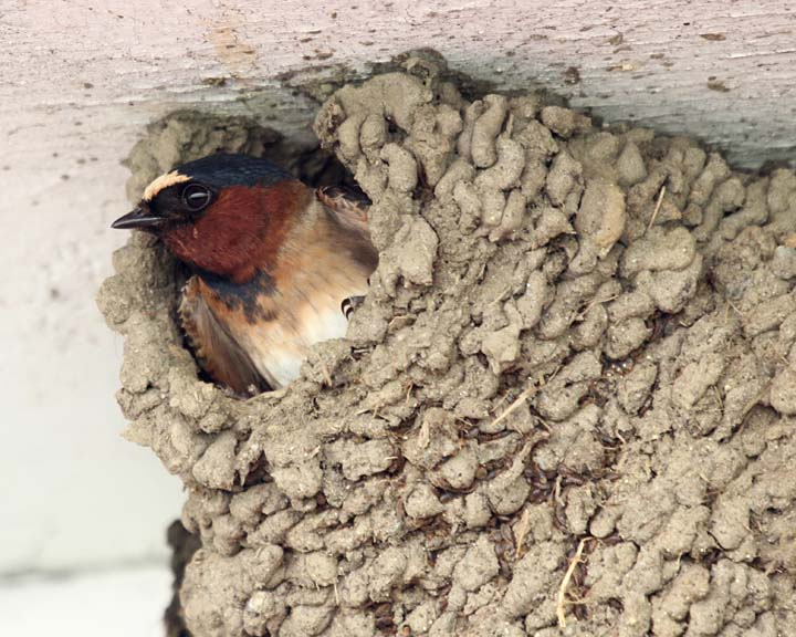 Cliff Swallow Nests 89