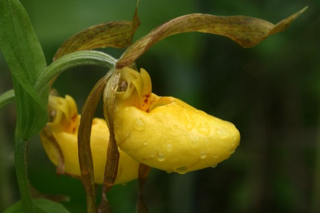 Image result for yellow lady slipper image
