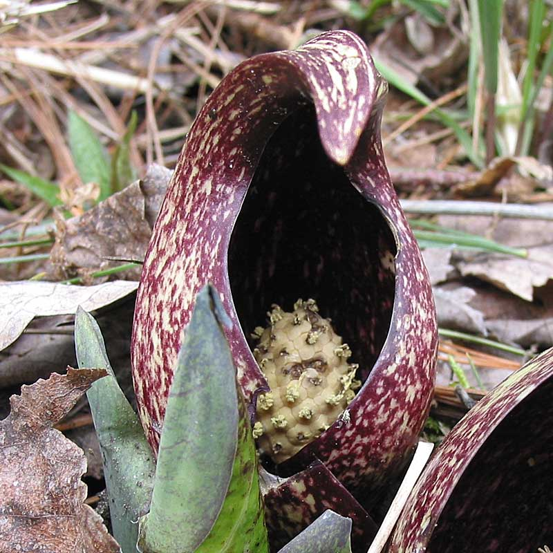 skunk cabbage fruits naturally curious with mary holland