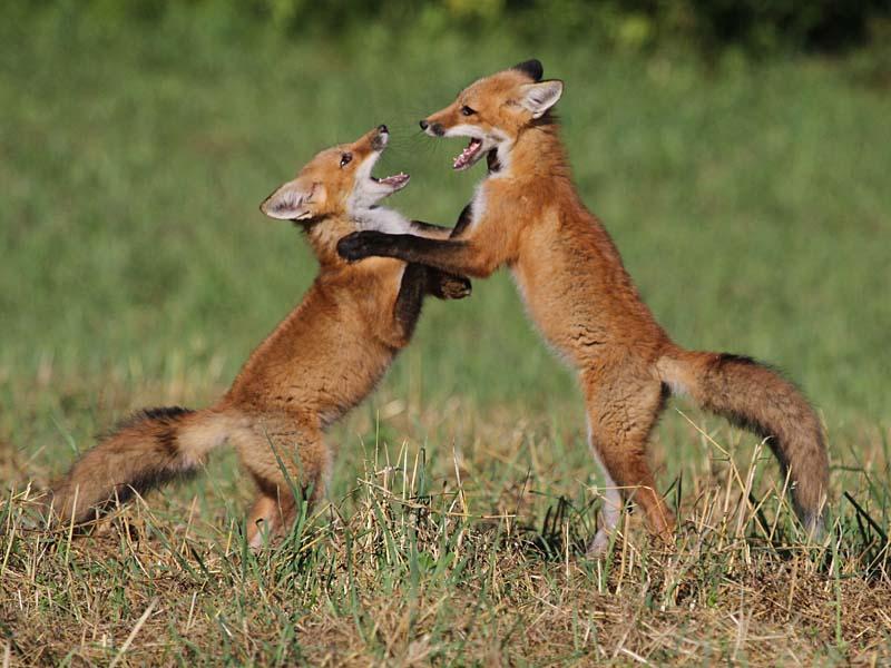 http://naturallycuriouswithmaryholland.files.wordpress.com/2012/07/7-9-12-red-fox-kits-img_2175.jpg