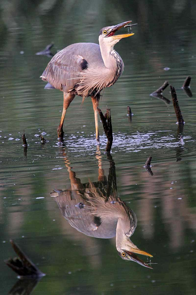 301 moved permanently for Blue heron fishing