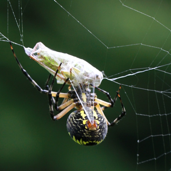 Spider in web with prey - photo#42