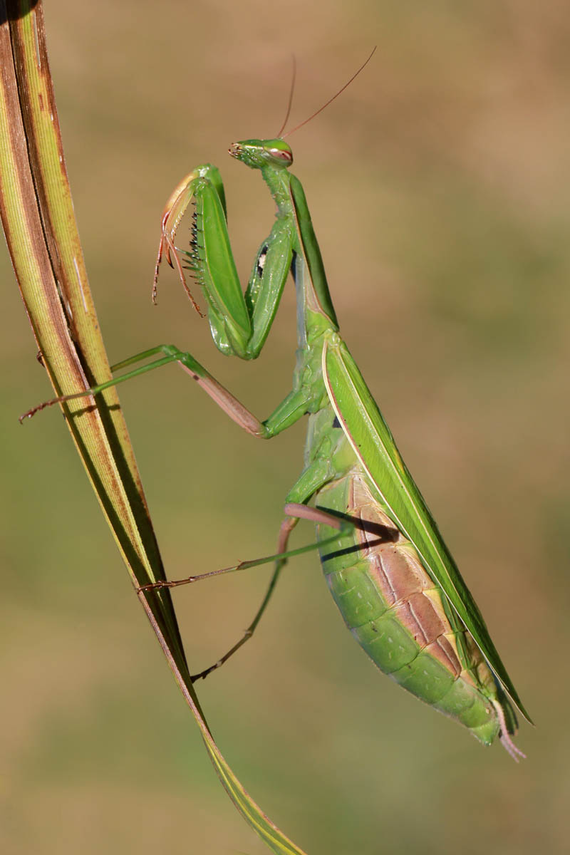 Praying Mantis | Naturally Curious with Mary Holland
