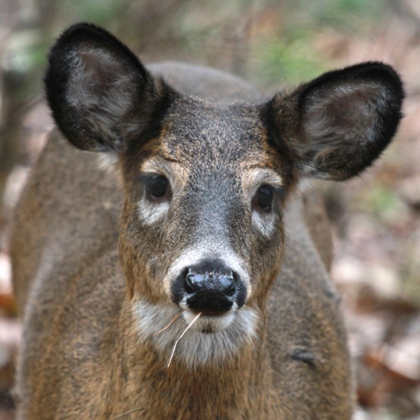 11-30-12 deer eating IMG_6035