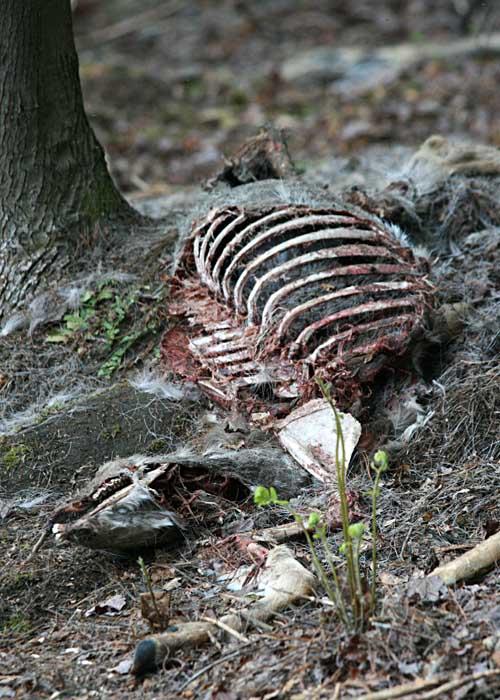 12-11-12 Deer Carcass IMG_5851