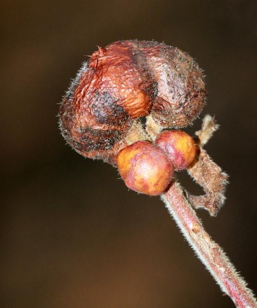 12-20-12  blueberry stem gall IMG_7405