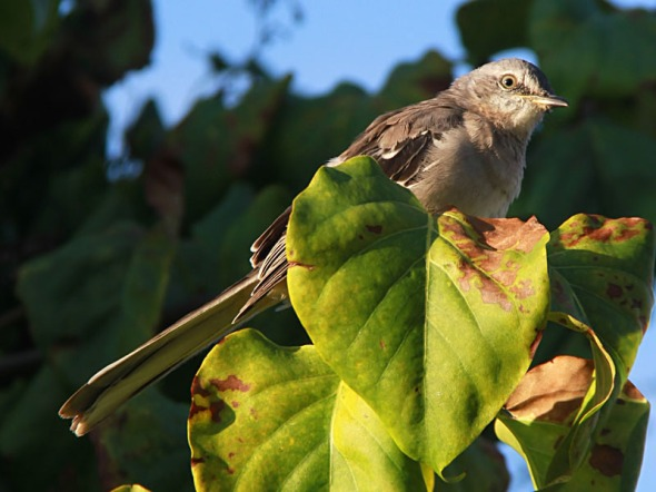 12-3-12 northern mockingbird IMG_7435