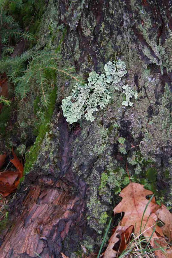 12-4-12 wet lichen IMG_6171