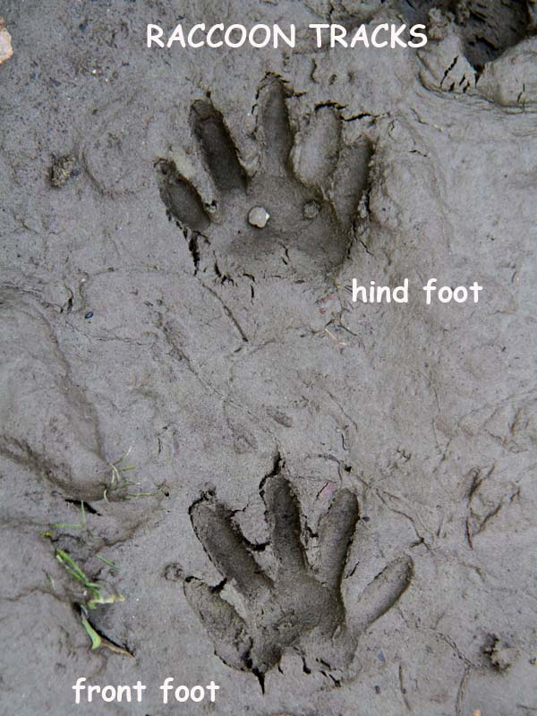 12-6-12 raccoon tracks IMG_0046