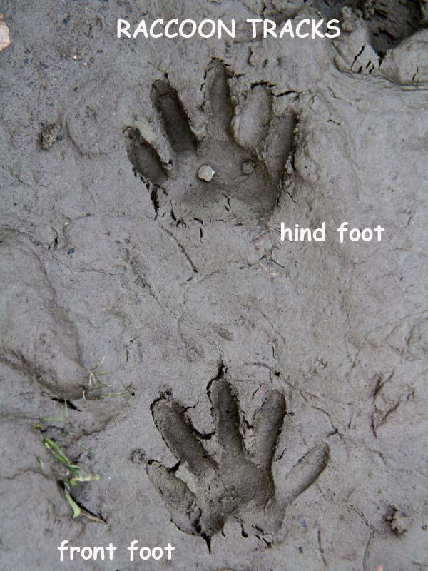 12-6-12 raccoon tracks IMG_0046