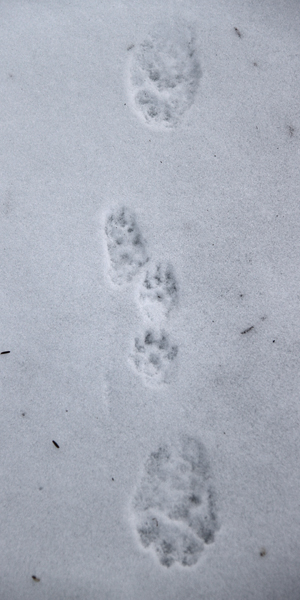 Fisher and Mink Tracks | Naturally Curious with Mary Holland