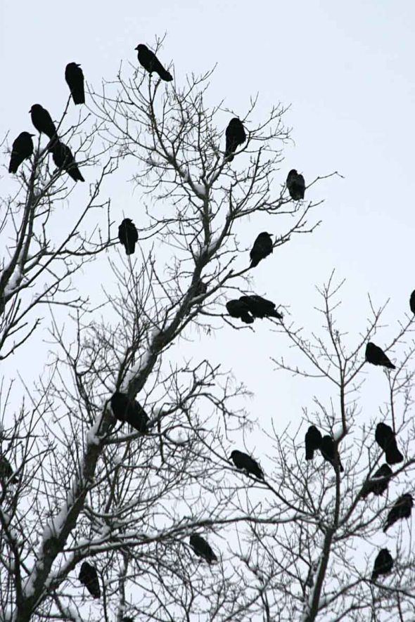 1-1-13 American crows IMG_4589