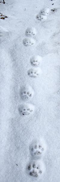 1-11-13 bobcat tracks IMG_0550