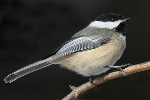 1-15-13 black-capped chickadee