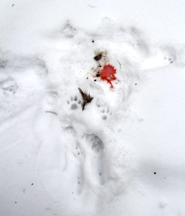 1-21-13 bobcat kill3 IMG_1888