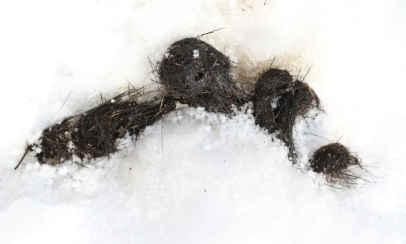 1-23-13 fisher scat2 IMG_0098