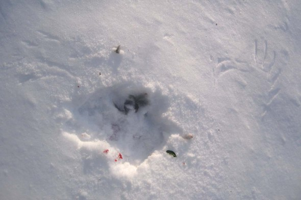 1-24-13 bird of prey kill by SRichards IMG_6546