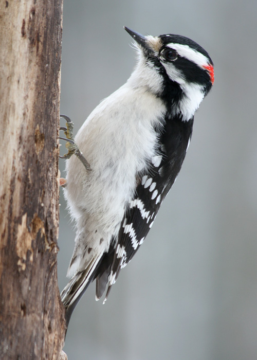 1-24-13 downy woodpecker3 IMG_7588