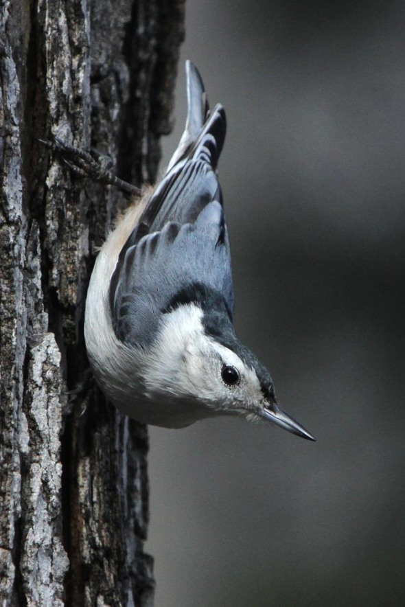 1-7-13 white-breasted nuthatch IMG_4447
