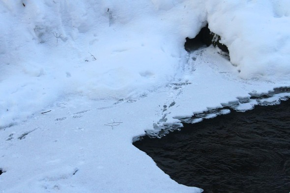 1-8-13 mink tracks along river IMG_0175