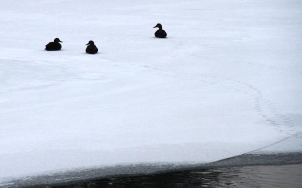 1-9-13 mallards on ice IMG_0203