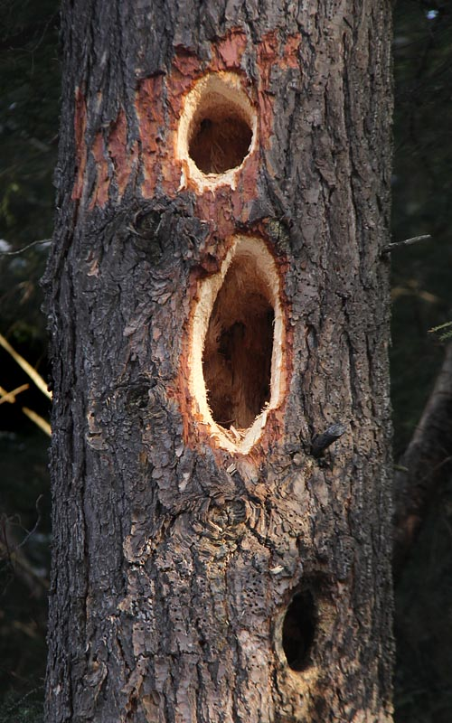 1-9-13 pileated woodpecker holes IMG_0259