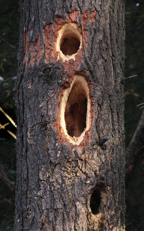 1-9-13 pileated woodpecker holes IMG_0259