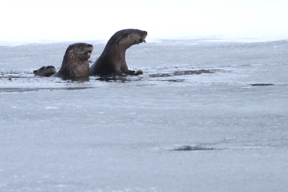 2-11-13 river otters otters2 IMG_1386