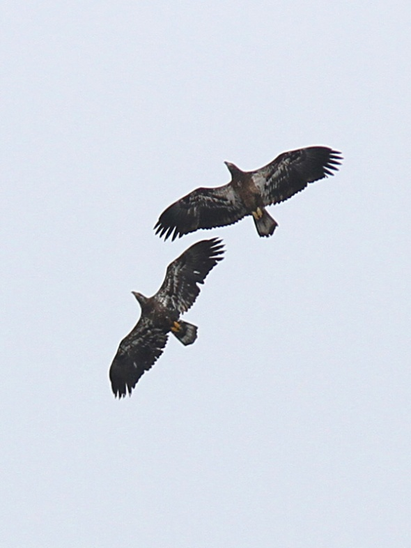 2-13-13 juvenile bald eagles IMG_3152