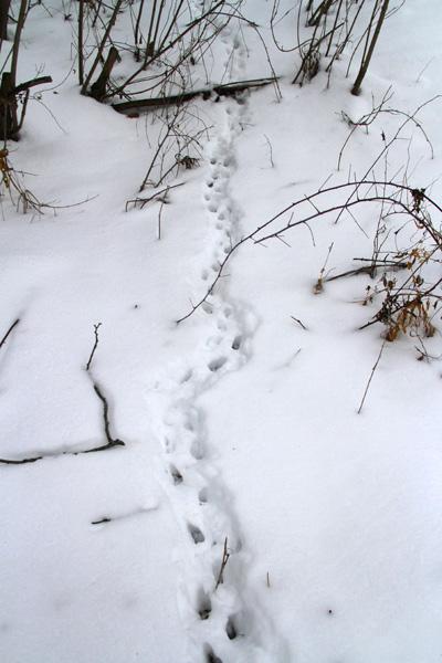 2-18-13 striped skunk tracks IMG_3244