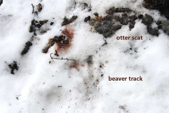 2-22-13 otter scat and beaver track2 IMG_3211