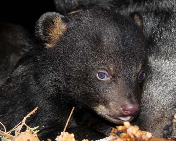 2-24-13 black bear cub IMG_0386