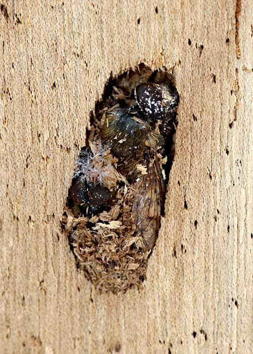 2-7-13 hibernating wasp queen2 IMG_2680