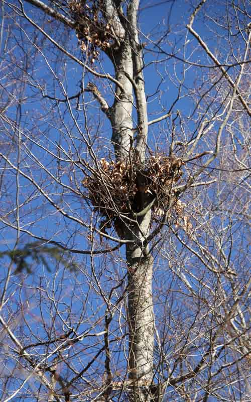 "Beech Maple Forest ~ Black bear ""nest naturally curious with mary holland"